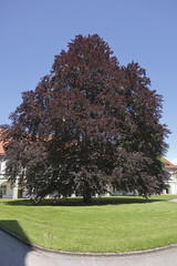 Copper Beech (The^Bob) Tags: germany bavaria fagussylvatica benediktbeuern