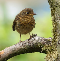 Young Robin (jenny*jones) Tags: uk robin canon erithacusrubecula naturalworld westyorkshire thrush naturephotography birdphotography turdidae youngrobin june2013