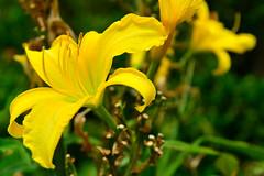 Daylily /  (Dakiny) Tags: summer plant flower lily july daylily yokohama      2013     aobaku   2013  shimoyamotocho