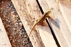 Sonnenanbeter - sunbather (pics-n-more) Tags: wood sun nature animal warm natur creative commons lizard creativecommons holz sonne sunbather eidechse