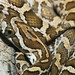 Great Plains Ratsnake (Juvenile)