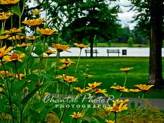 A Walk in the Park (Chantal PhotoPix) Tags: flowers flower nature floral fleur flora colorful daisy bloom coneflower blooms flowerpetals flowerpetal floraphotography wonderfulworldofflowers