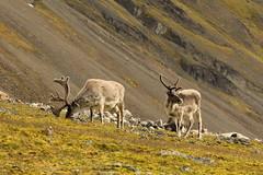 Svalbard Reindeer (Derbyshire Harrier) Tags: summer male svalbard arctic bucks spitsbergen tundra ortelius naturetrek 2013 higharctic bellsund svalbardreindeer ingeborgfjellet