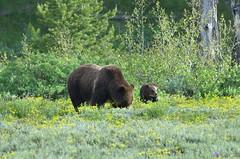 Grizzly Bear (Ursus arctos horribilis) Sow with Cub DDZ_6997 (NDomer73) Tags: bear june mammal yellowstonenationalpark yellowstone tetons juvenile grizzlybear grandtetonnationalpark 2013 10june2013
