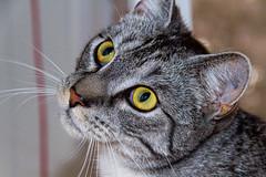 Voll konzentriert (ribehrend) Tags: tiere natur sirius katzen sugetiere