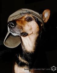 Kitana II (Skalldor) Tags: dog pet cute mix shepherd style hund cap german dobermann kitana mogrel