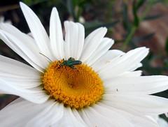 una maschera di polline - Oedemera nobilis (fotomie2009) Tags: wild flower male nature insect beetle daisy margherita coleoptera nobilis pollination insecta oedemera impollinazione thicklegged