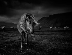 The Icelandic horse (oskarpall) Tags: ldlnoir