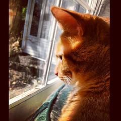 Monk #orgyofcatpics #toledo #thedailykitty #ohio #nwohio #instacats #instapets #instakitties #sylvania #pinknose #portrait #ginger #kitty #kittiesofinstagram #cats #catsoffacebook #catsofinstagram (tekkbabe) Tags: ohio portrait cats square ginger kitty monk toledo squareformat hudson pinknose sylvania nwohio tekkbabe859 iphoneography instagramapp uploaded:by=instagram catsofinstagram instacats instapets kittiesofinstagram foursquare:venue=4ddebd0b1f6e0369474ac130 blondebetweenthemountains instakitties thedailykitty catsoffacebook orgyofcatpics