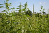 Palmer Amaranth in the Field by UnitedSoybeanBoard, on Flickr