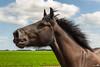 Draft horse portrait (BraCom (Bram)) Tags: portrait horse holland clouds canon nederland thenetherlands wolken zeeland portret paard drafthorse phc zuidbeveland wolphaartsdijk trekpaard canonef24105mm bracom powerhorsecompetition canoneos5dmkiii bramvanbroekhoven