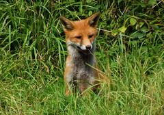 DSCF2112 Fox (Steve_Herring) Tags: nature wildlife fox mammals redfox fujifilmfinepixhs10 steveherringphotography
