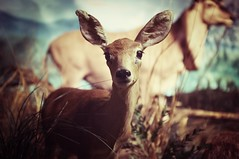 Deer (the_Rundown) Tags: cute animal zoo taxidermy majestic