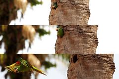 Pantanal Maritaca ninho. Foto Weber Sian (Weber Sian) Tags: jornalismo photojournalism prato sian journalism weber ribeiraopreto ribeirao fotografo fotojornalismo reporterfotografico webersian