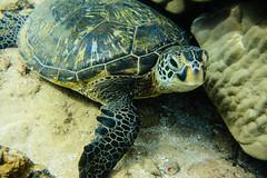 Sea Turtle (Jason Matkowski) Tags: underwater maui snorkeling seaturtle mauihawaii jasonmatkowski