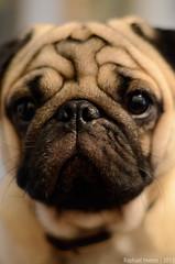 Pug (Raphael Imenes) Tags: dog pug
