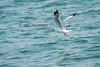 fly catching (icEzZPhotography) Tags: blue sea fish bird fly seagull wing catch bangtaboon
