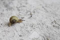 _piccolo ospite_ (alfia alfi) Tags: canon natura lumaca sorpresa semplicit