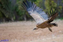 Buitre leonado; Voltor com; Common Griffon. (jordi51) Tags: naturaleza nature birds nikon wildlife aves common volture buitreleonado buitre griffon gyps fulvus d600 voltor voltorcom 200400vrii jordi51