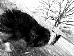 Wet Dog Running (Mar 2014) (Ian Clegg Walsh) Tags: dog white black wet monochrome hub fur stream sheep image arts creative olympus imaging f3 corp iso80 mirfield gupr sz31mr