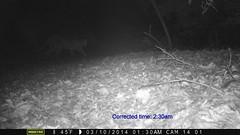 Mountain lion 3/10/2014; motion-sensor camera (BobcatWeather) Tags: california mammal puma cougar santacruzmountains mountainlion pumaconcolor sanmateocounty motionsensor felidae cameratrap bobcatweather georgiastigall