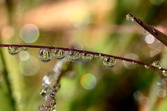 Beads of dew. (halina.reshetova) Tags: morning blue summer music plants brown macro reflection green nature water canon dewdrops drops shine bokeh top live ngc radiance august drop gotas npc dew summertime blob 20 myfavorite makro shining brilliance welikeit beadsofdew canoneos1000d 160314 flickrhivemindgroup