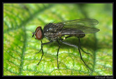 Delia platura mâle (cquintin) Tags: delia arthropoda diptera anthomyiidae mâle platura