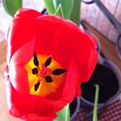 C'est bientôt le printemps :) (karine_avec_1_k) Tags: red flower fleur yellow jaune rouge tulipe uploaded:by=flickrmobile flickriosapp:filter=nofilter