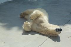 2014 03 25 (Copanda_) Tags: polarbear dea  uenozoo