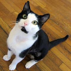 Bravo, Recovery week 6 (Jimmy Legs) Tags: male cat adopt alleycat adoptable bushwickstreetcats