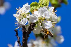 Blooming plum-tree and a bee (Trashadlo) Tags: spring bee bloom plumtree