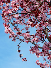 Pink Flower Blossoms (shaire productions) Tags: pink summer flower tree nature floral beauty season asian japanese spring natural branches seasonal blossoms chinese growth korean bloom cherryblossoms blooming peachblossoms strees flowerblossoms