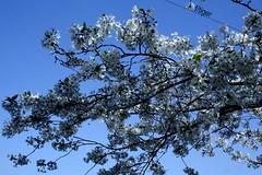 Primavera (franca castri) Tags: primavera cielo fiori azzurro api