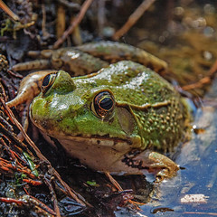 Hi there.. (catoledo) Tags: water spring eyes amphibians longwoodgardens 2014 northerngreenfrog fotocompetitionbronze