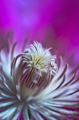 Heart of Clematis ((Virginie Le Carré)) Tags: light flower macro fleur heart bokeh lumière clematis coeur clematite