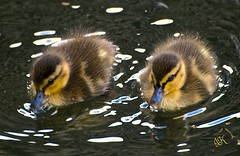Two of Youngest Ducklings (Irene, W. Van. BC) Tags: water pond duckling ducks ducklings fowl waterfowl animalsbirds smallanimals pondlife babyanimals babyducks duckfamily allnature localpond pondarea lougheedvillage lougheedvillagescenes lougheedburnabybc