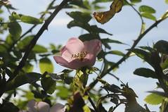 Heckenrose (Rosa corymbifera); Bergenhusen, Stapelholm (3) (Chironius) Tags: rosa stapelholm bergenhusen schleswigholstein deutschland germany allemagne alemania germania германия niemcy blüte blossom flower fleur flor fiore blüten цветок цветение rose roze gül роуз rosen roses rosids fabids rosales rosenartige rosaceae rosengewächse rosoideae