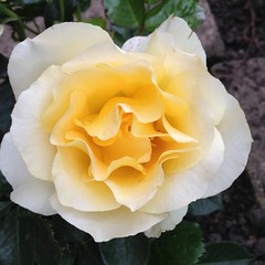 Rose (alanpeacock2) Tags: flowers rose yellow lemon perfume smell fragrant sherbert englishrose flowersinmygarden justforyou davidaustinroses sherbertdip