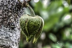 Temporada de frutos (roizroiz) Tags: verde green frutas fruits digital canon season photography eos rebel interestingness bright july tropical xs hdr mothernature guanabana 2015 tropicalfruits i500