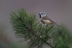 03-2364 (fix.68) Tags: mésangehuppée oiseau
