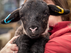 Spring is so much more than flowers.................. :-) (Unni Henning-slowly catching up (also Inst) Tags: lamb animal young newborn farm spring warwickshire shopstononstour outdoor nature farming sheep black macro closeup