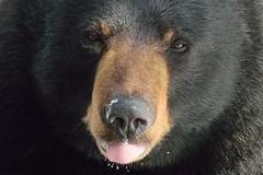 Face-to-face (thokaty) Tags: blackbear connecticut avon newengland wildlife facetoface