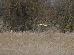 Low Approach (mdavidford) Tags: bird flight barnowl hunt glide chimneymeadows
