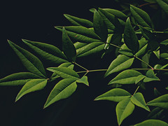 leaves stretching (NaomiLashelle) Tags: black green leaves pen dark lens olympus sharp kit omd oly em5 epl1