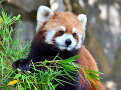 野毛山動物園のレッサーパンダのキンタちゃん♀ (This Red Panda Name is Kinta. She is Female Red Panda of Nogeyama Zoo.)