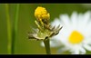 Did his job (Hindrik S) Tags: flower macro green nature yellow groen seed creation daisy tamron geel bloem giel a57 madeliefje blom grien tamronspaf90mmf28dimacro koweblomke sonyphotographing α57