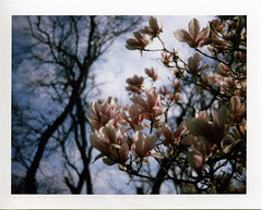 Magnolia tree (Jacob's Camera Closet) Tags: film polaroid fuji ii instant peel apart colorpack fp100c