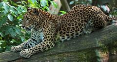 shrilankapanter IMG_0014 (j.a.kok) Tags: panther burgerszoo panter pantheraparduskotiya shrilankapanter shrilankanleopard