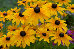 Rudbeckia cultivar (Eric Hunt.) Tags: orange flower yellow rudbeckia asteraceae blackeyedsusan