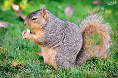 mhmm ... yummy (cape) Tags: ca usa animal losangeles squirrel bokeh handheld cape expositionpark rosegarden nikond90 cape tamrom90mmf28dimacro